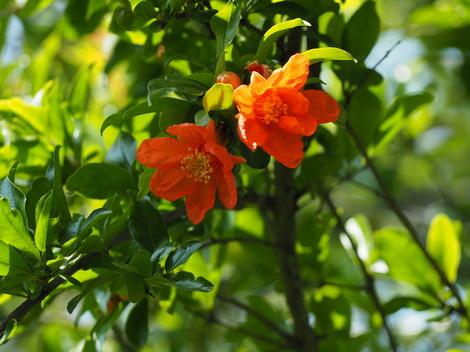 ざくろ 約10年前に植えて初めて開花した。実が楽しみ.JPG