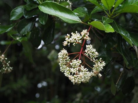サンゴ樹の花咲きます.JPG