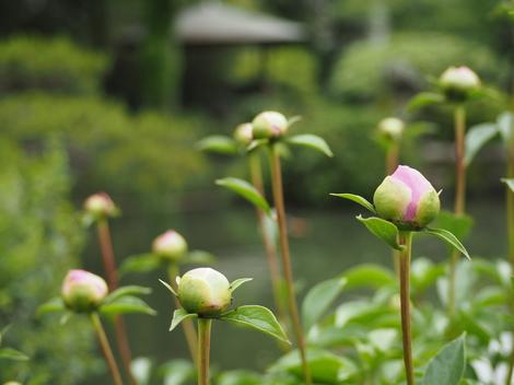 シャクヤク(ピンク)開花前1.JPG