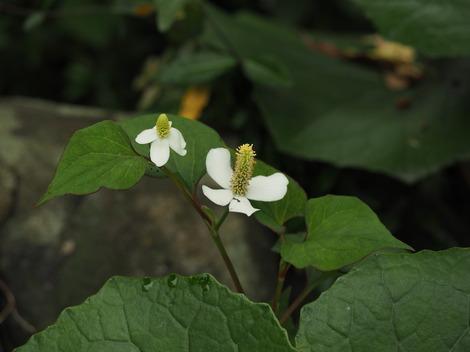 ドクダミの花.JPG