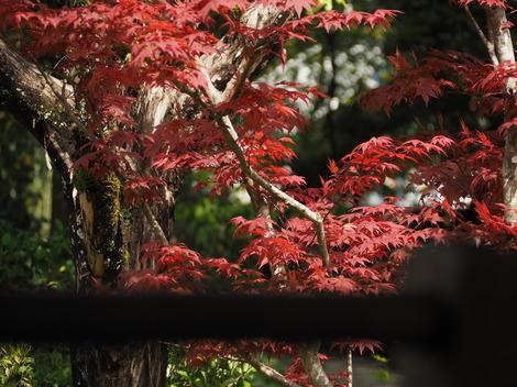 初夏の紅葉.JPG