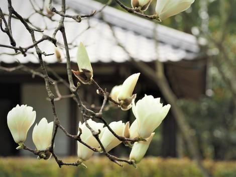 木蓮のある風景.JPG