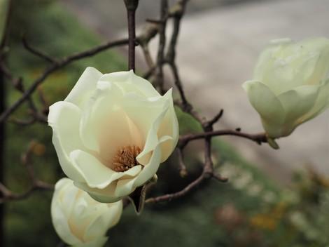 木蓮の花の内側(貴重).JPG
