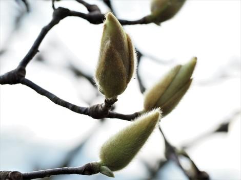 木蓮もうすぐ咲きます2.JPG