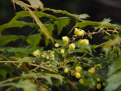 柊の花1.JPG