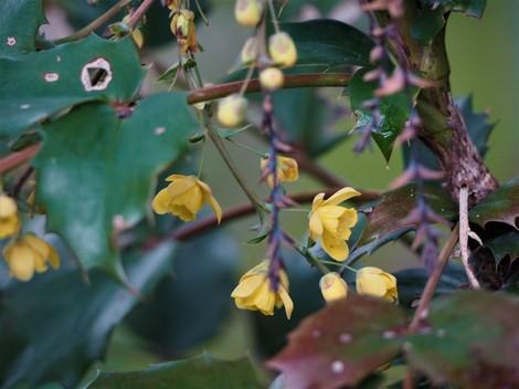 柊の花2.JPG
