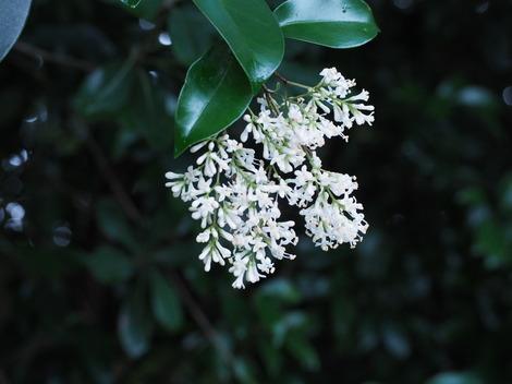 楠の花.JPG