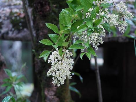 楠の花2.JPG