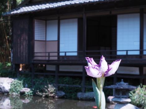 池の菖蒲も開花.JPG