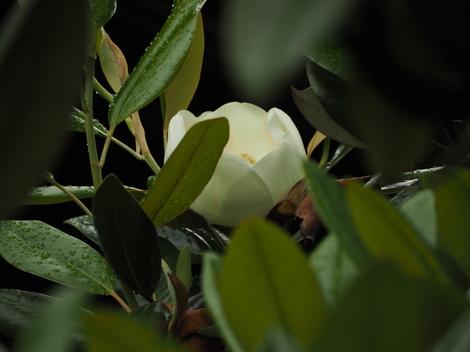 泰山木の花開花中.JPG