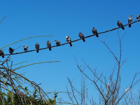 秋祭りを見学する鳩.JPG