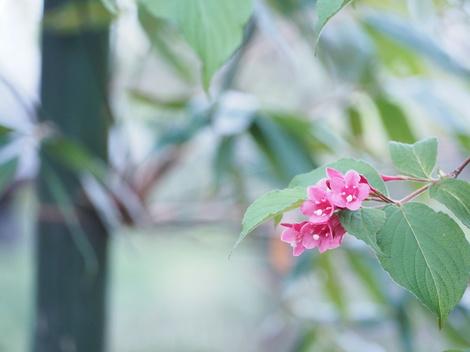 竹と紅空木.JPG