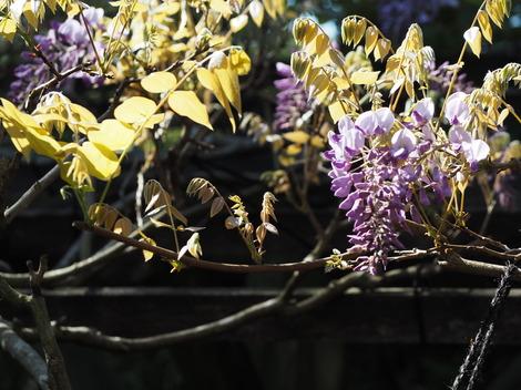 紫玉藤.JPG