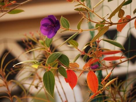 野ぼたんの葉も紅葉します。この花は花の寿命が長くて、長い間鑑賞できます.JPG