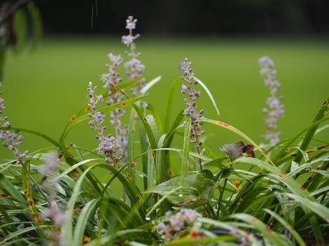野シランの花.JPG